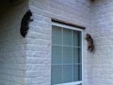 只是兩隻忍者貓