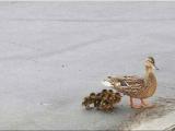 鴨媽媽 向警察求救 救鴨寶寶