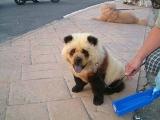 這是熊貓.. 還是... 狗?