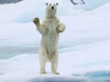 好客 北極熊