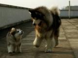 「爸爸你真的要帶我出去玩嗎?」「當然!騙你我是小狗!」